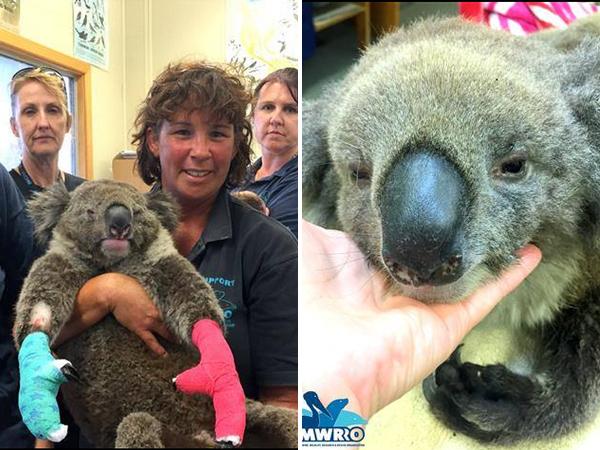 koala010814-600x450
