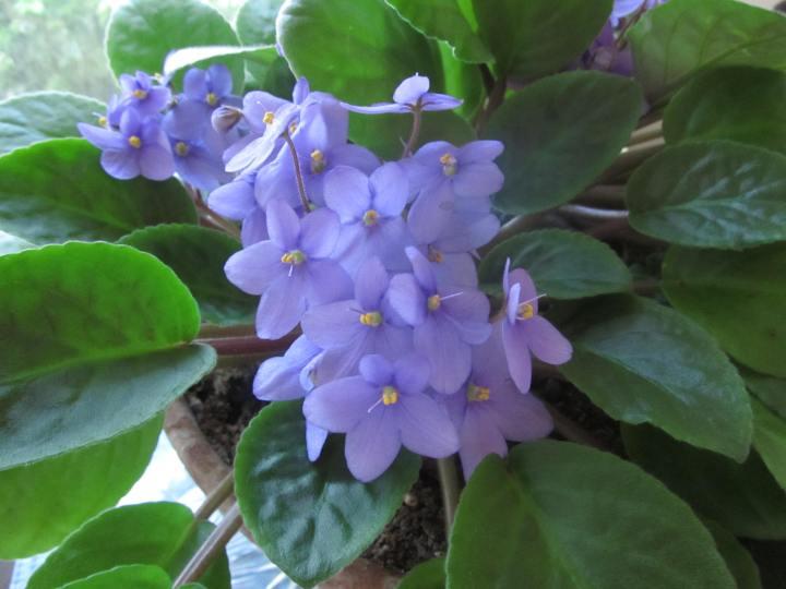 African Violets 001